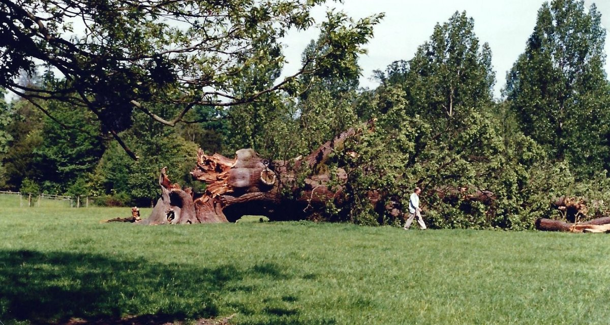1996. 600-year-old oak felled by strong summer winds