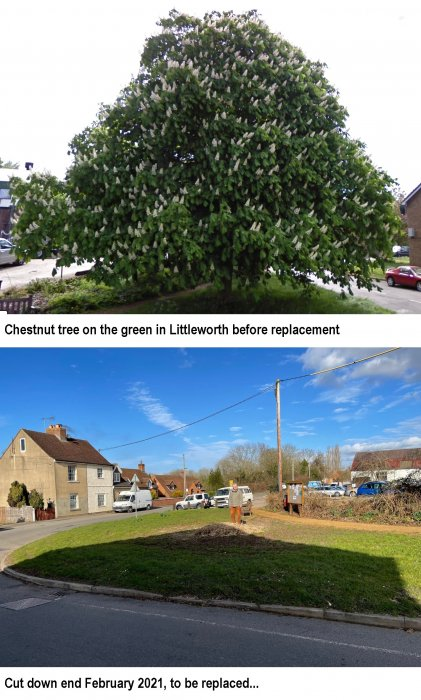 Replacement of chestnut tree